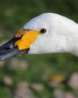 Bewick Swan Highly Commended Peter Watson