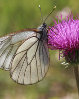 Black veined white Commended Linda Phipps