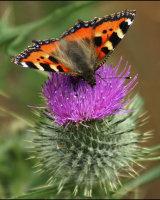 Butterfly on Teazle First John Walters