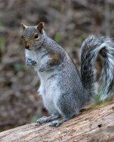 C Grey Squirrel by Clive Pearson