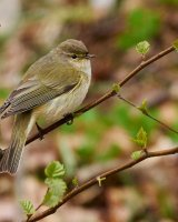 Chiffchaff by Clive Pearson. 2nd