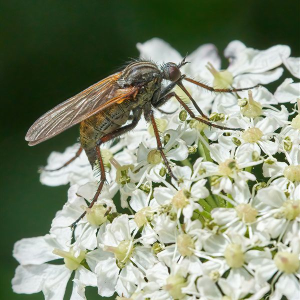 Commended Dagger fly Empis tessellata by Clive Pearson