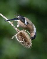 Commended Female Bullfinch by Derek Walker