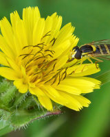 Commended Long Hoverfly-Sphaerophoria by Clive Pearson