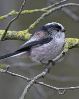 Commended Long Tailed Tit by Clive Pearson