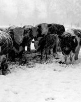 Cows in a Blizzard Arthur Beyless Highly Commended