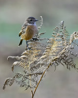 Female Stonechat in Autumn Second Clive Pearson