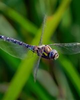 Flight of a Migrant Hawker Clive Pearson Highly Commended
