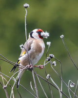 Goldfinch Collecting for Nest Second Clive Pearson