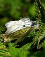 Green Veined Whites on Nettle