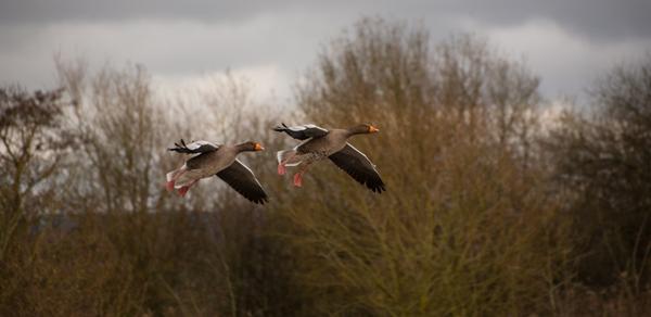 Greylag Geese in Flight First Arthur Beyless