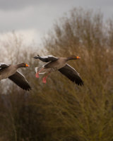 Greylag Geese in Flight First Arthur Beyless