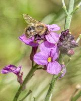 HC Bee on Flower by Kelvin Townsend