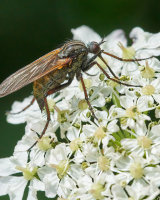 HC Dagger fly Empis tessellata by Clive Pearson