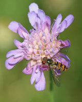 Hoverfly Linda Phipps Commended