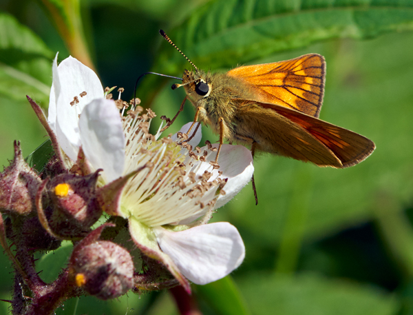 Large Skipper on Bramble First Clive Pearson