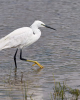 Little Egret Commended Clive Pearson