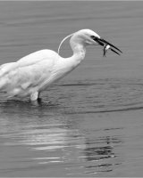 Little Egret Fishing Second Clive Pearson