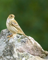 Meadow Pipit Clive Pearson Commended