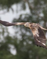 Red Kite Highly Commended Arthur Beyless