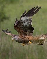 Red Kite Second Arthur Beyless