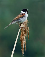 Reed Bunting Calling Clive Pearson Second