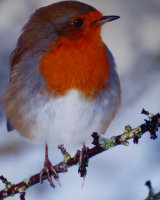 Robin in the snow Second Ray Phipps