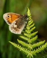 Small Heath on Bracken by Clive Pearson. Highly Commended