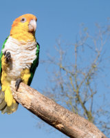 White Bellied Caique Commended Kelvin Townsend