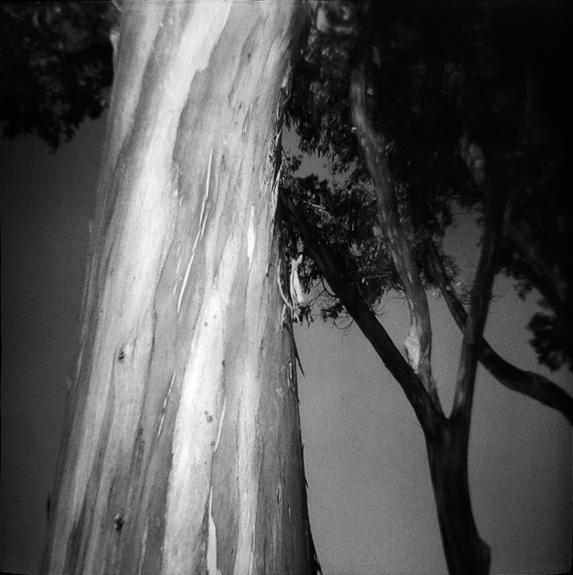 Coastal Eucalyptus