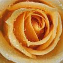 peach coloured rose