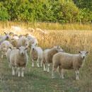 down ampney sheep
