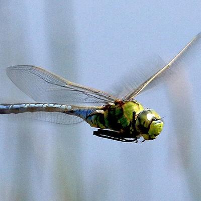 Emperor Dragonfly-©Steve Batt (2nd)