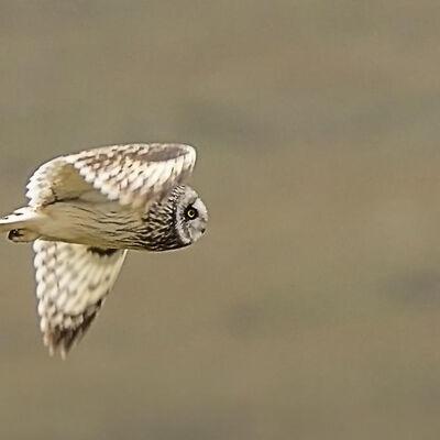 Short Eared Owl-©Steve Batt (2nd)