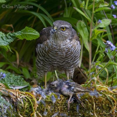 Sparrowhawk Dinner-©Kim Pilkington (2nd)
