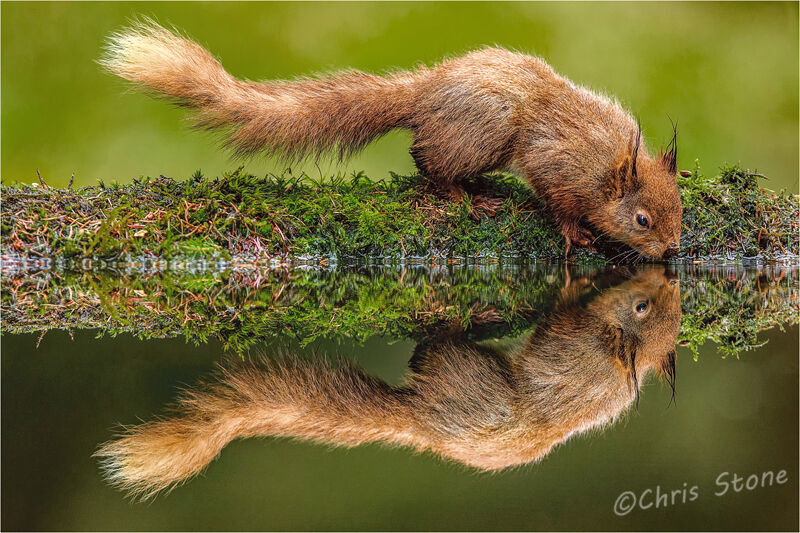 Thirsty red squirrel-©Chris Stone