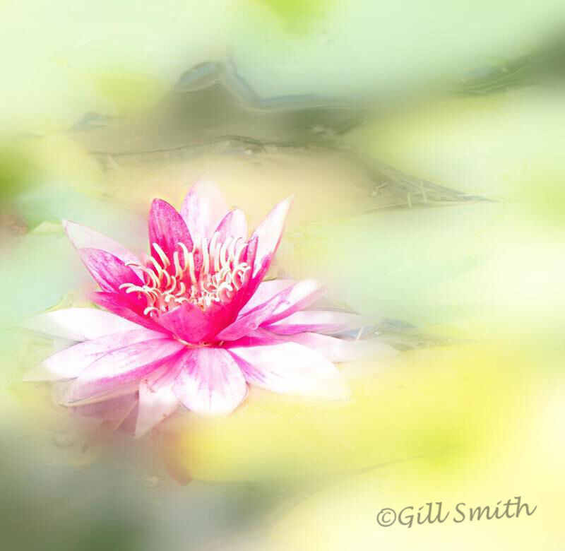 Waterlily-©Gill Smith