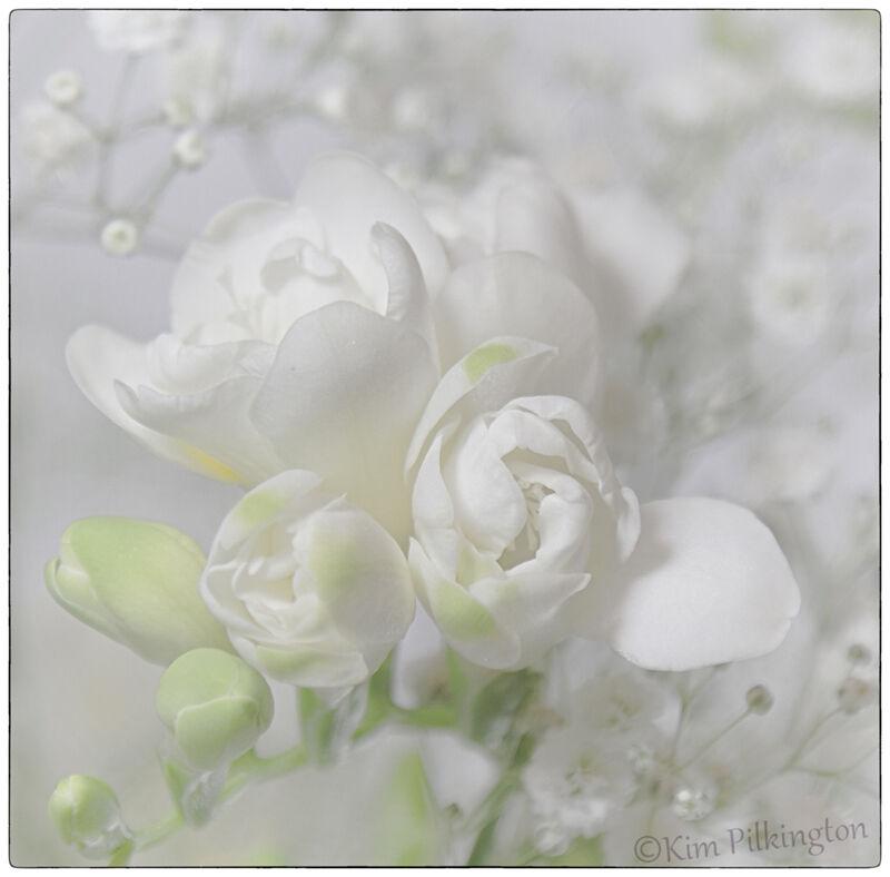 White Freesias-©Kim Pilkington