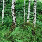 Birch Trees and Ferns, Beinn Eighe