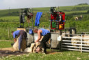 Shearing sheep in the Adur Valley, West Sussex