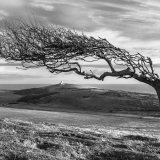 Downland tree in winter nr Belle Tout, South Downs