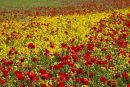 Rapeseed and poppies nr Whitelot Bottom, South Downs 9