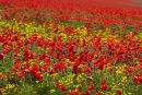 Rapeseed and poppies nr Whitelot Bottom, South Downs 12