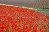 Poppies on Annington Hill 1