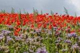 Poppies on Annington Hill 2
