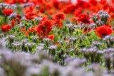 Poppies on Annington Hill 3