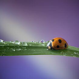 7-Spot-Ladybird-on-Grass