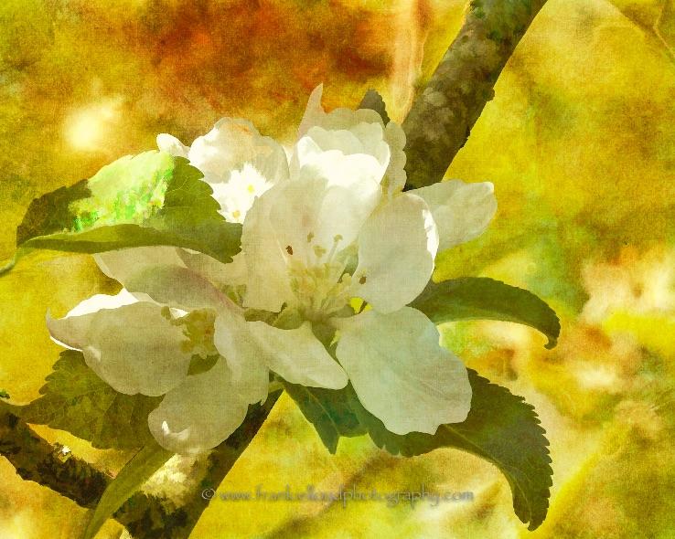 Apple-blossom-text-1