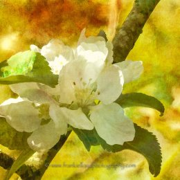 Apple-blossom-text-1