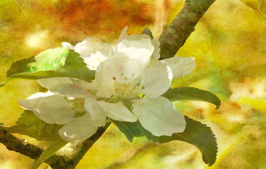 Apple-blossom-textured